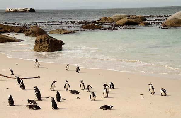 pinguineAfri1a