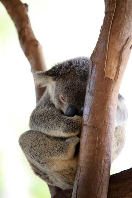 koalaaust