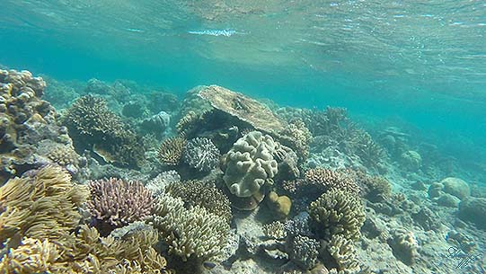 korallgreatbarr